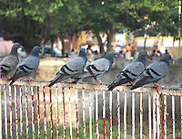 Stock image of pigeons sitting in row on iron railing.