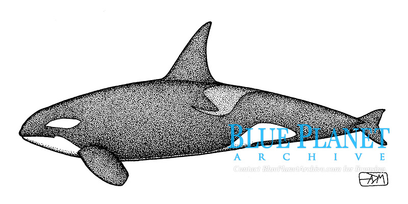 Killer whale, Orcinus orca, lateral view, pen and ink illustration.