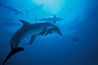 Atlantic spotted dolphins, Bahamas banks, Stenella frontalis, Bahamas, Caribbean, Atlantic