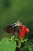 Two-barred Flasher, Astraptes fulgerator , adult on Turk's Cap (Malvaviscus drummondii) , The Inn at Chachalaca Bend, Cameron County, Rio Grande Valley, Texas, USA, May 2004