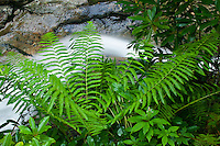 Ferns and water shute on Red Fork in summer, Unaka Mountain Wilderness, TN