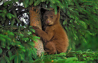 Black Bear cub in sitka spruce tree..Cinnamon color phase. Coastal British Columbia, Canada..(Ursus americanus).