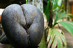 Seychelles, Island Praslin, National Park Vallee de Mai (UNESCO natural world heritage): Coco de Mer (Lodoicea maldivica) - largest coconut and seed in the world<br />