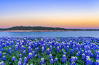 Bluebonnets Along the River Twillight  - Another capture of the field of bluebonnets after the sunset and brought up these nice colors of pinks and orange in the sky along the colorado river.  We had moved to a different site after sunset as the colors back lit the sky with these great colors shortly after the sun went down.  The Texas hill country dry river bed came back to life this year after the waters went down along the colorado river and this field of bluebonnets popped up.  It was delightful to see the field of wildflowers again not as much as the first time but still wonderful.  Spring time in the Texas hill country can be magical when fields of wildflowers appear in great numbers.  We live not far from here so we came here many times till word got out and the bluebonnet got trampled down. The texas hill country has been one of the best places to capture pictures of bluebonnets landscapes in the past and we can only hope forever. Taking pictures of bluebonnets is one of our favorite things to capture. There are many varieties of bluebonnets in Texas from the chiso bluebonnet, to the sandyland and of course the Lupinus texensis lupine,  has been the state flower since the 1901 and all other bluebonnets were included in 1971 by the Texas Legislature which made all lupines in the state the state flower.  For most the most popular is the Lupinus texensis or texas bluebonnet which are here in the hill country which range in color from blue to violet shade depending on the light also the texas hill bluebonnets have the white tops which are known  is said to look like a bonnet.  <br /> <br /> Buy Photos by BeeCreekPhotography, Fine Art,  Buy Art Online. Wall Art. Bluebonnet Landscapes, Flowers and more...