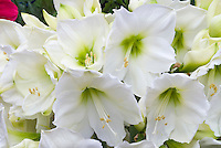 Hippeastrum 'Christmas Gift' (white amaryllis)