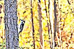Hairy Woodpecker in autumn, Tibbett lake Northwest Territories.