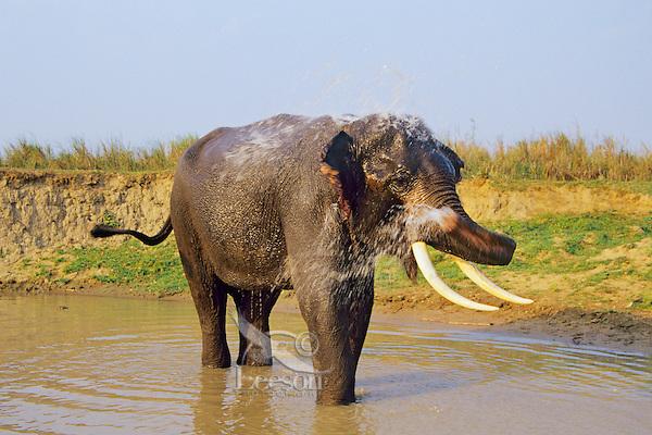 Asian elephant or Indian elephant(Elephas maximus) bathing, India.