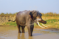 Asian elephant or Indian elephant(Elephas maximus) bathing, India.