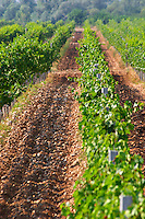 Rows of vines in the vineyard. Pattern in the soil after ploughing. Vranac grape variety. Typical red reddish clay sand sandy soil mixed with pebbles rocks stones in varying amount. Vineyard on the plain near Mostar city. Hercegovina Vino, Mostar. Federation Bosne i Hercegovine. Bosnia Herzegovina, Europe.