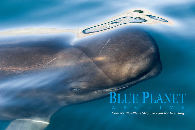 short-finned pilot whale, Globicephala macrorhynchus,The head of a pilot whale in silky water,  Baja California, Mexico, Gulf of California, Sea of Cortez, Pacific Ocean