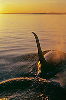 Orca Whale or killer whale (Orcinus orca) has just finished breathing (blowing).  Sunset.