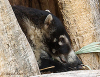 0717-1102  White-nosed Coati (Pizote, Antoon, Tej—n), Resting in a Tree Cavity, Racoon Family, Arizona, Nasua narica  © David Kuhn/Dwight Kuhn Photography