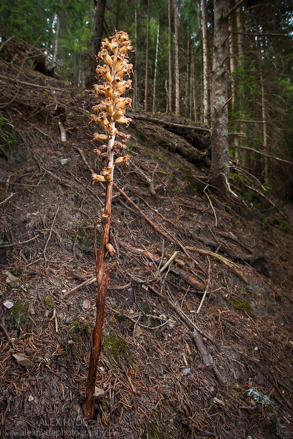 Bird's nest orchid flower {Neottia nidus-avis} flowering in coniferous woodland. The plant lacks chlorophyll and obtains nutrients from fungal hypae which it parasitises. Nordtirol, Tirol, Austrian Alps, Austria, 1500 metres altitude, July.