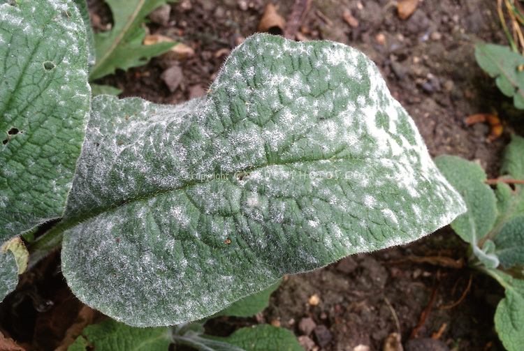 Powdery Mildew on Foxglove (Digitalis)