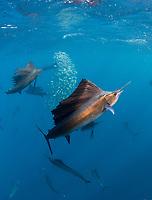 Atlantic sailfish, Istiophorus albicans, hunting round sardinella or Spanish sardines, Sardinella aurita, Isla Mujeres, Mexico, Gulf of Mexico, Caribbean Sea, Atlantic Ocean