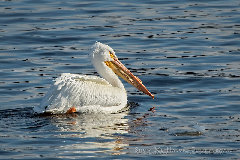 American White Pelican cruises the river while he fishes