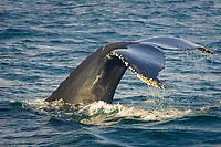 Humpback Whale, Megaptera novaeangliae, Diving and showing its entanglement scars and barnacles on its flukes, Jeffery's Ledge, Stellwagon Bank National Marine Sanctuary, Gloucester, Massachusetts, USA, Atlantic Ocean