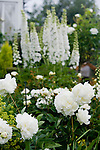 A vignette of white peonies backed by white delphinium stalks in soft focus behind, in the Sissinghurst-style white garden behind the farmhouse on this property about one hour north of Seattle in the Skagit Valley. Garden design by Toni Christianson, Christianson's Nursery