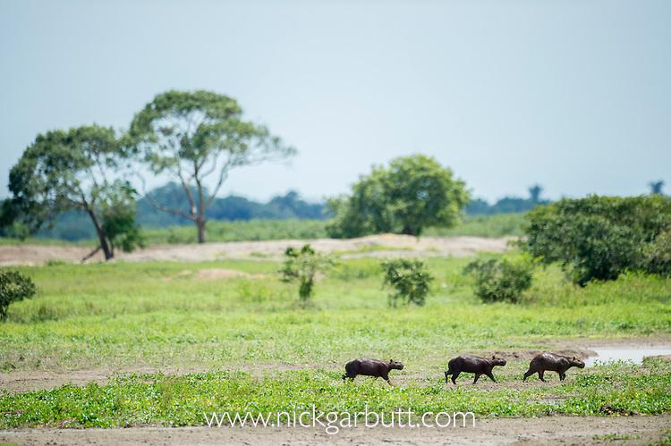Capybara (Hydrochoerus hydrochaeris). Hato La Aurora Reserve, Los Llanos, Colombia.