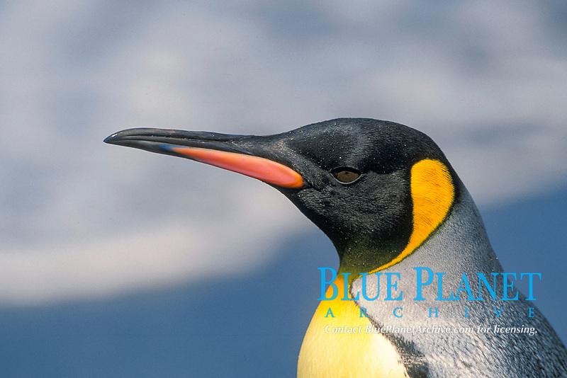 close up of king penguin, Aptenodytes patagonicus, MacQuerie Island, Australia