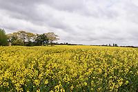 Rapsfelder bei Swaneke auf der Insel Bornholm, Dänemark, Europa<br /> Rape field near Svaneke, Isle of Bornholm Denmark