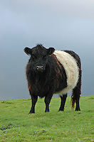 Belted Galloway heifer in County Durham.