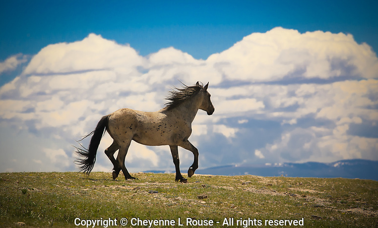 This Stallion proudly prances along the ridge top after successfully chasing off an intruding Mustang.<br /> <br /> Wild Mustang, Pryor Mountains,  Wyoming, Montana, Wild Horses, Stallion