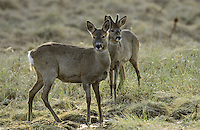 Europäisches Reh, Rehwild, Reh-Wild, Capreolus capreolus, roe deer