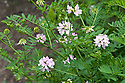 Crown vetch (Securigera varia syn. Coronilla varia), mid June.