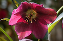 Helleborus (Rodney Davey Marbled Group) 'Penny's Pink', late April.