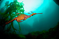 Weedy Sea Dragon in the kelp forest, Waterfall Bay, Eaglehawk, Tasman Peninsula, southeastern Tasmania, Australia, Phyllopteryx taeniolatus