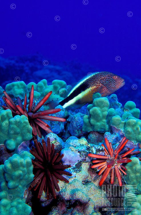 The colorful Red Pencil Urchin can be found amidst the Lobe Corals of Hawaii's reefs. This photo taken at Hanauma Bay.