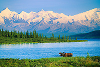 Wonder Lake, Bull moose feeds on vegetation, Alaska mountains in the distance, Denali National Park, Alaska