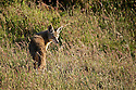 North America, USA, California, Point Reyes National Seashore. Coyote.
