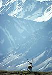 Caribou bull, Denali National Park, Alaska, USA