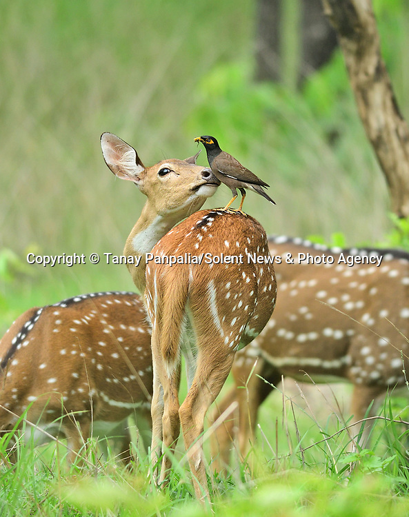 "CAN I HAVE A BIRD IN YOUR EAR...... A common myna bird hitches a lift on the back of an inquisitive deer in a reserve in central India.<br /> <br /> The moment was captured by chartered accountant Tanay Panpalia at the Pench National Park in Madhya Pradesh.<br /> <br /> Tanay, 28, from Nagpur City, in India said, ""The bird was looking for small insects which are usually found on spotted deer.  She was comfortable with the bird's presence, they almost looked like old friends as she give the bird a ride.""<br /> <br /> Please byline: Tanay Panpalia/Solent News<br /> <br /> © Tanay Panpalia/Solent News & Photo Agency<br /> UK +44 (0) 2380 458800"