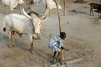 SOUTH SUDAN  Bahr al Ghazal region , Lakes State, cattle camp near Rumbek, children live and work with their families in the cattle camp / SUED-SUDAN  Bahr el Ghazal region , Lakes State, Dinka mit Zeburindern im cattle camp bei Rumbek, Kinder leben und arbeiten mitr ihren Familien im cattle camp