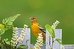 Female Baltimore oriole perched on a decorated backyard fence in northern Wisconsin.