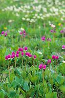 Shooting star wildflowers in summer meadow, Denali National Park, Alaska