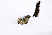 cat in snow, domestic cat, male,