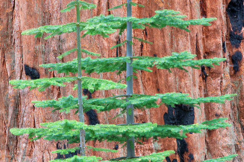 Small fir tree growing next to Giant Sequoia (Sequoiadendron giganteum) Sequoia National Park, California