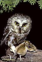 OW03-099z  Saw-whet owl - owl with mouse prey - Aegolius acadicus..