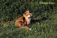 FX03-031z  Red Fox - Vulpes vulpes
