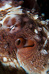 Taveuni, Fiji; detailed view of the eyes and siphon of a Common Reef Octopus (Octopus cyanea)