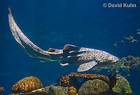0213-1102  Zebra Shark (Leopard Shark, Carpet Shark), Stegostoma fasciatum (syn. Stegostoma varium)  © David Kuhn/Dwight Kuhn Photography
