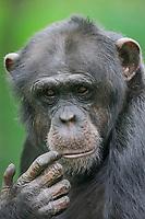Pygmy chimpanzee or Bonobo (Pan paniscus), Portrait