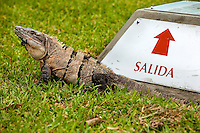 Iguana lizards are a common siting in Mexico's Maya Riviera district, which spans the Caribbean coastline from Cancun to Tulum.