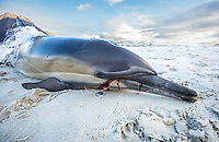 long-beaked common dolphin, Delphinus capensis, Killed by fishing lin entanglement, False Bay, South Africa, Atlantic Ocean