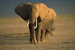African elephants kick up dusk as they walk in a line to a watering hole in Amboseli National Park, Kenya.