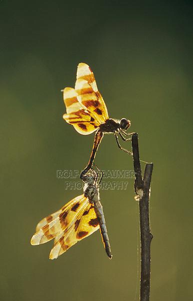 Halloween Pennant, Celithemis eponina, pair mating, Welder Wildlife Refuge, Sinton, Texas, USA
